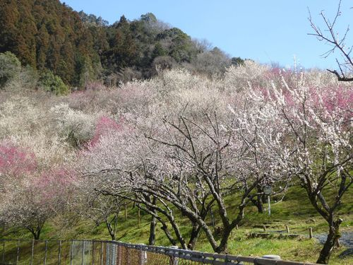 takaoume-07.jpg